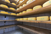 Cheese maturing on the shelves — Stock Photo
