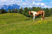 Horse on the mountain — Stock Photo