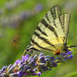 Butterfly on lavender blossom — Stock Photo #38885801