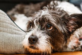 安静時の犬 — ストック写真