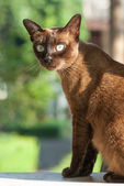 Siamese cat. — Stock Photo