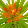 Stock Photo: Bromeliad