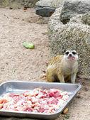 Meerkat is eating meat — Stock Photo
