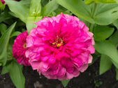 Pink zinnia — Stock Photo