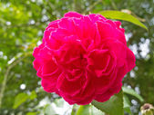 Damask rose  — Foto Stock