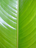 Banana leaf background — Stock Photo