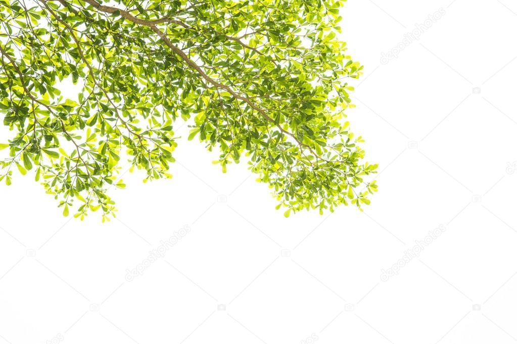 绿色的树叶和树枝在白色背景上