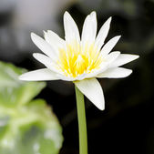 Lilly bílá voda — Stock fotografie