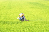 Farmer spraying herbicide on rice filed — Stock Photo