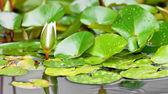 Vatten lilly bud — Stockfoto