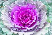 Purple decorative cabbage — Stock Photo
