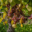 Stock Photo: Grapes in Franconia