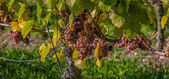 Grapes in Franconia — Stock Photo