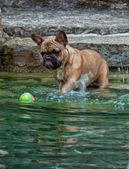 Boxer dog play with ball — Zdjęcie stockowe