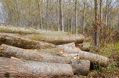 Wooden stumps — Stock Photo