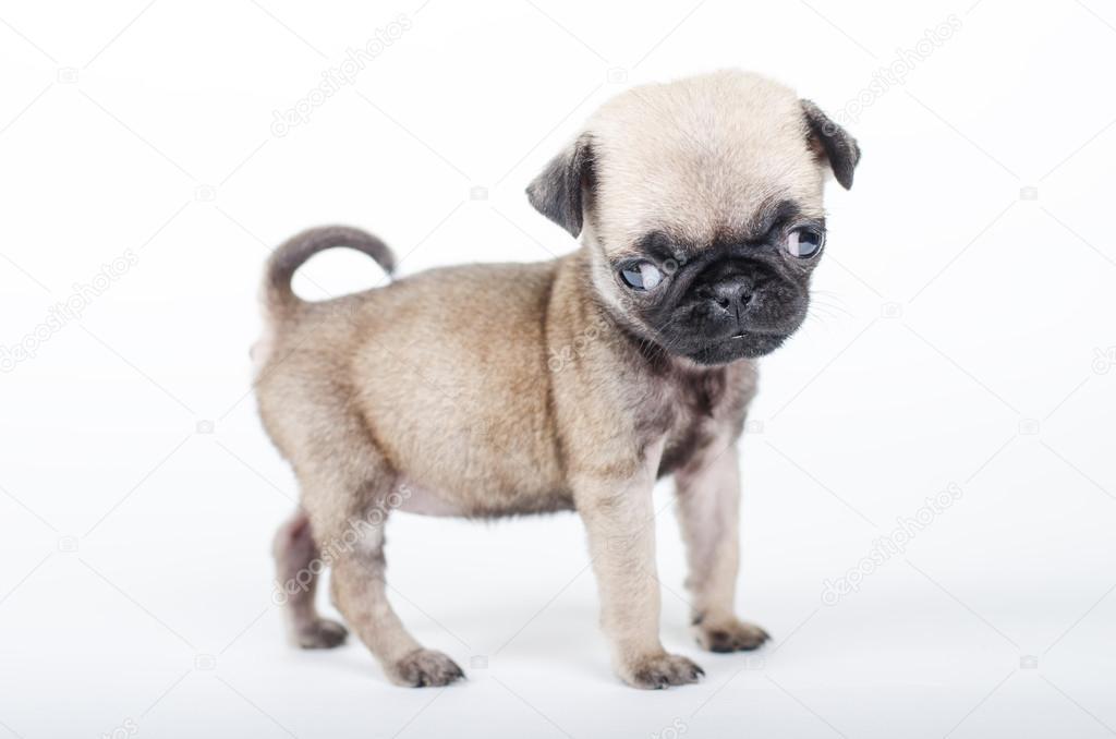 Cachorro Recién Nacido Pug