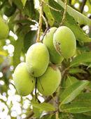 Racimos de mangos verdes — Foto de Stock
