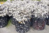 Oyster shell — Stock fotografie