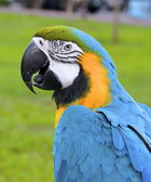 The macaw parrot — Stock Photo