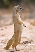Yellow Mongoose (Cynictis penicillata) — 图库照片