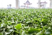 Té verde — Foto de Stock