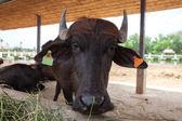 Dairy buffalo in farm — Stock Photo