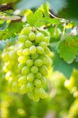 緑色のブドウ — ストック写真