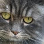 Gray Pesrian Cat — Stock Photo