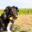 Dog with a corn cob — Stock Photo