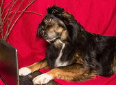 Dog with a Laptop — Stock Photo
