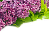 Violet lilac border — Stock Photo