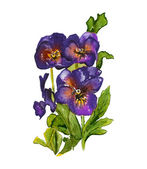 Viola Tricolor Pansy — Stock Photo