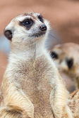Meerkat in with blur background. — Stock Photo