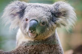 австралийский коала медведь — Стоковое фото