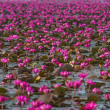 Pink lotus blossoms or water lily flowers blooming on pond — Stock Photo #47511923