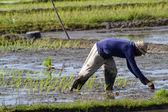 Farmer gathering rice — Stockfoto