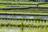 Farmer gathering rice — Stock Photo