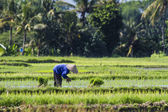 Boer verzamelen rijst — Stockfoto