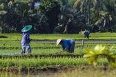 Farmers gathering rice — Stock Photo