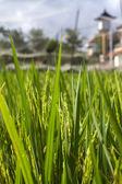 Ris plantor — Stockfoto