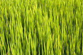 Rice seedlings — Stock Photo