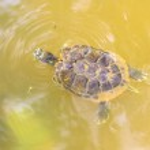 Swimming turtle — Stock Photo #40650903