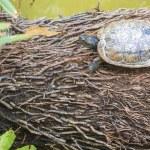 Wild turtle — Stock Photo #40650991