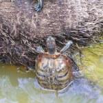 Swimming turtle — Stock Photo #40651045