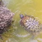 Swimming turtle — Stock Photo #40651049