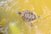 Swimming turtle — Stock Photo
