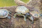 Tartarugas selvagens — Fotografia Stock
