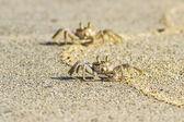 Krabba på sandstrand — Stockfoto