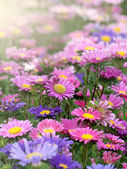 Aster blooms — Foto Stock