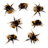 Bumblebee — Stock Photo